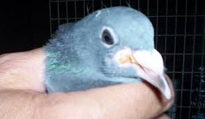 pigeon canker