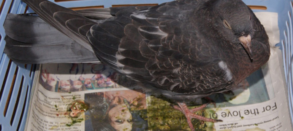 coccidiosis in pigeons