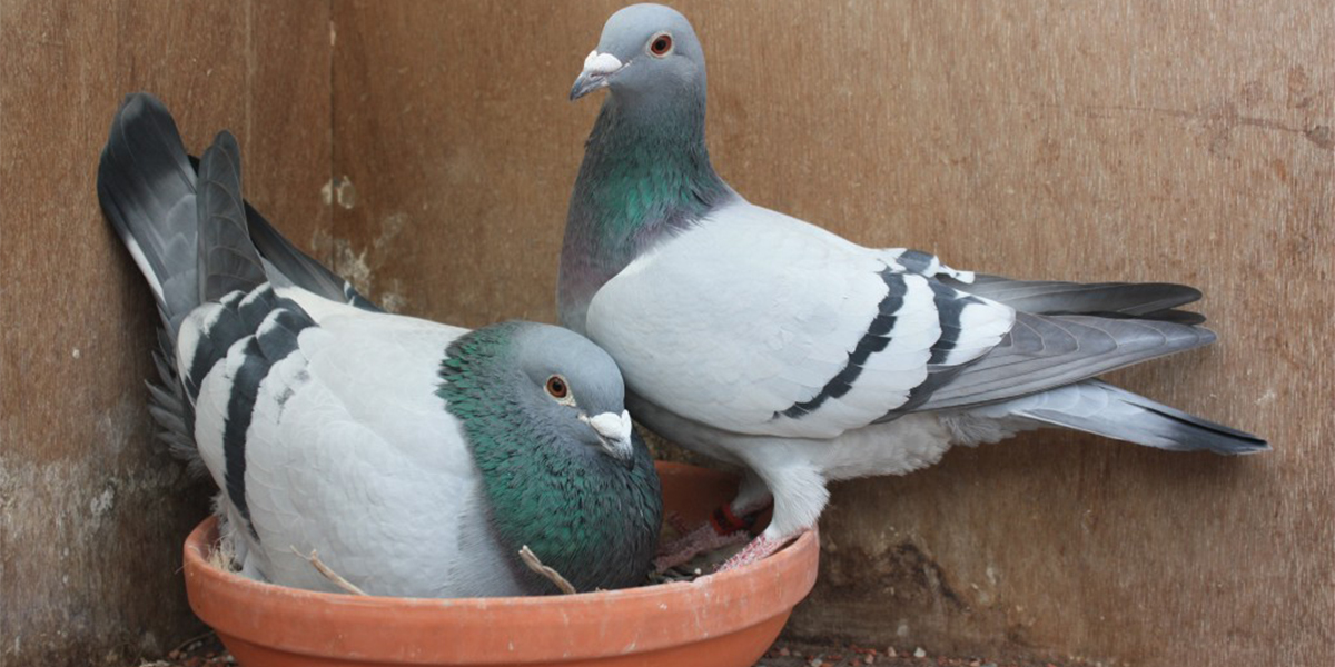 Pigeon Breeding Techniques: Line-breeding, Crossing and Inbreeding