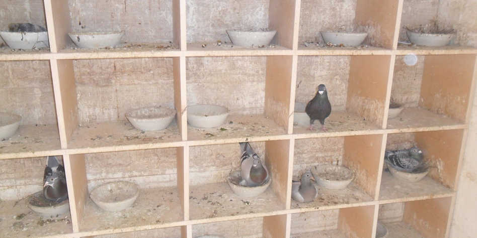 pigeon loft cleaning