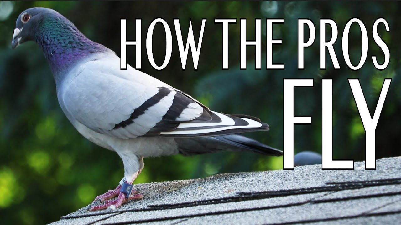How the Pros Fly Pigeons